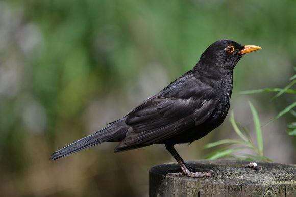 Stuutje1979 Common Blackbird 1
